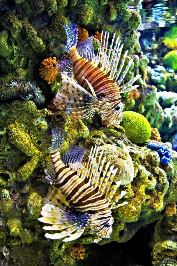 lion de poissons photo stock