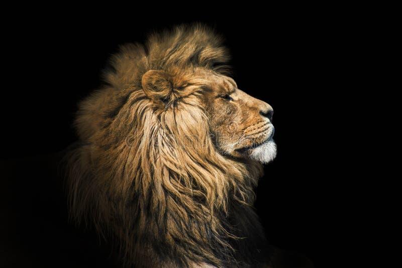 Lion de portrait sur le noir Lion de visage de d?tail Lion de portrait de qualit? de taille Portrait d'animal image stock