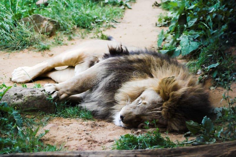 Lion de sommeil photos stock