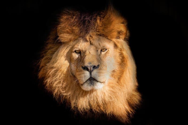 Lion de visage sur le fond noir image stock