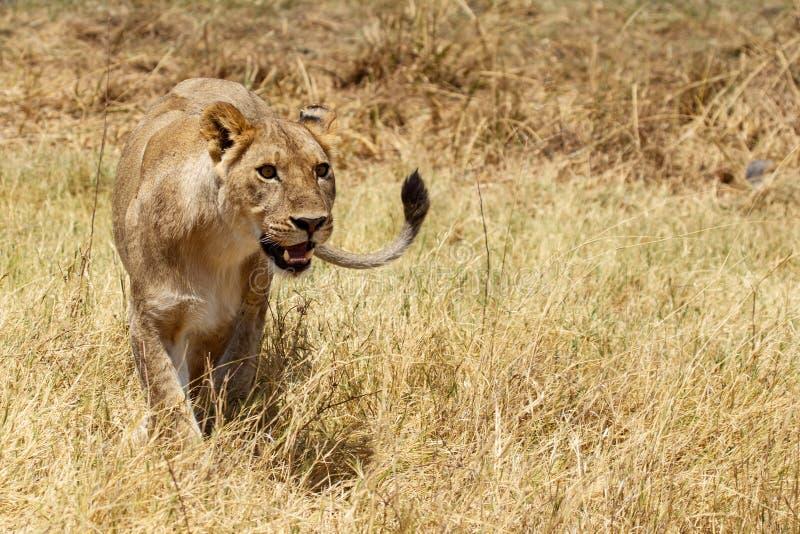 Lion - delta d'Okavango - Moremi N P images stock