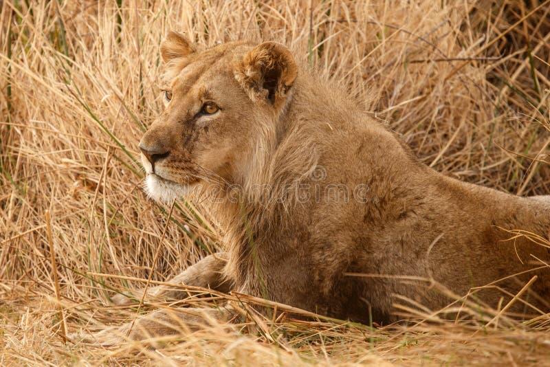 Lion - delta d'Okavango - Moremi N P photographie stock