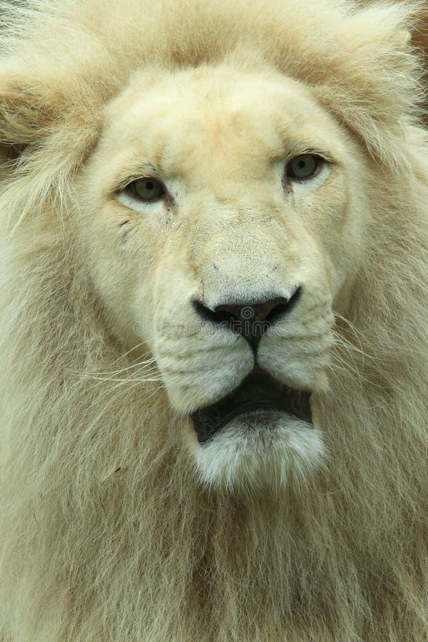 Lion Detail Stock Images