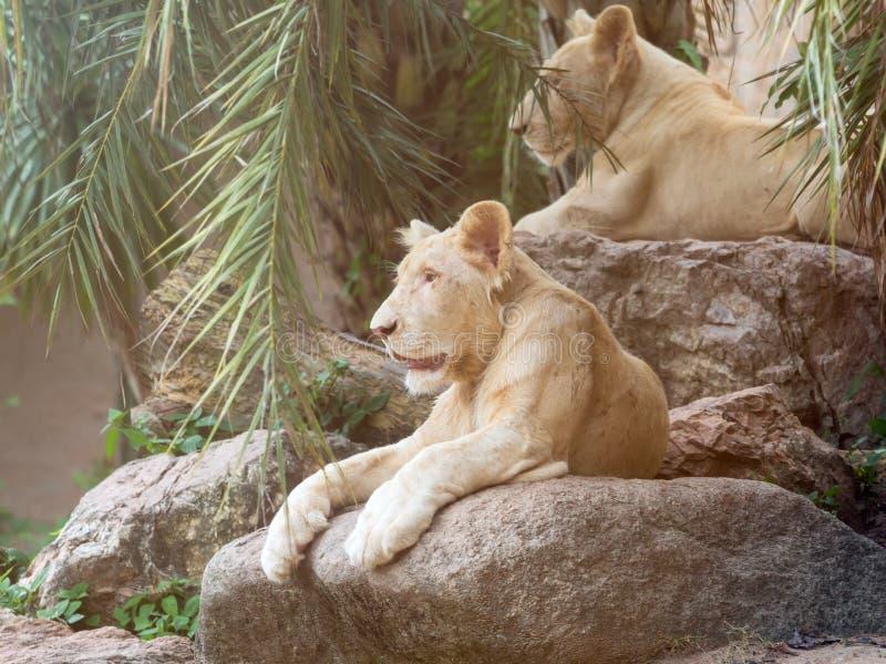 Lion deux blanc femelle se trouvant sur la pierre et regardant autour images stock