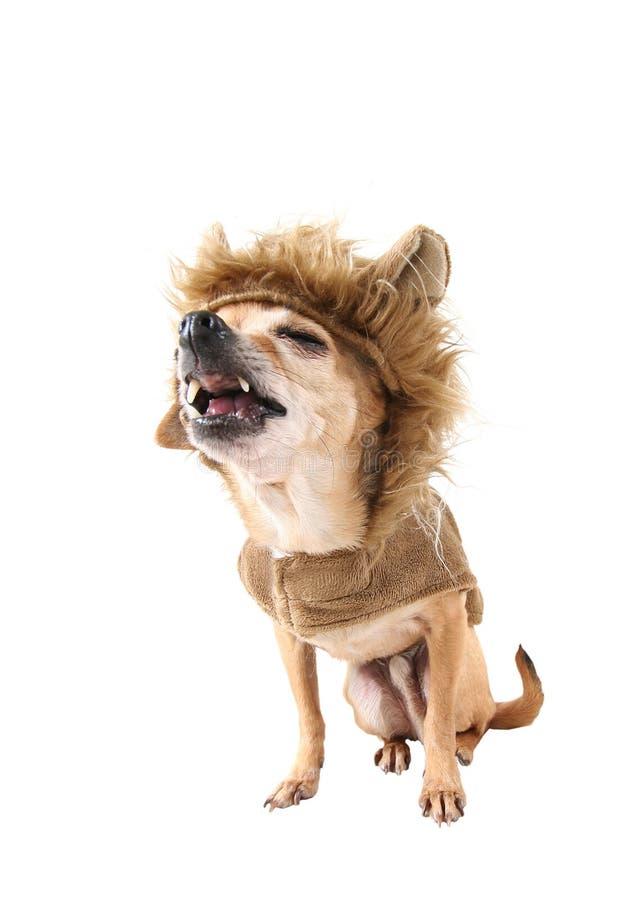 Lion dog stock photography