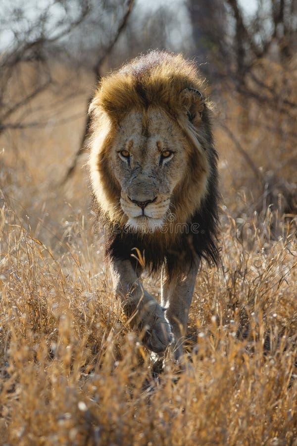 Lion - dominant male walking royalty free stock photo
