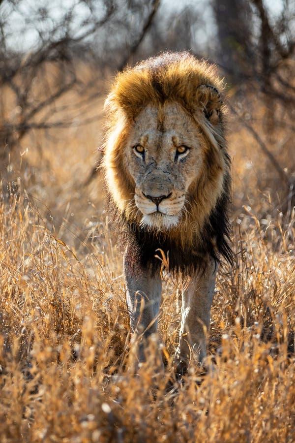 Lion - dominant male walking royalty free stock image