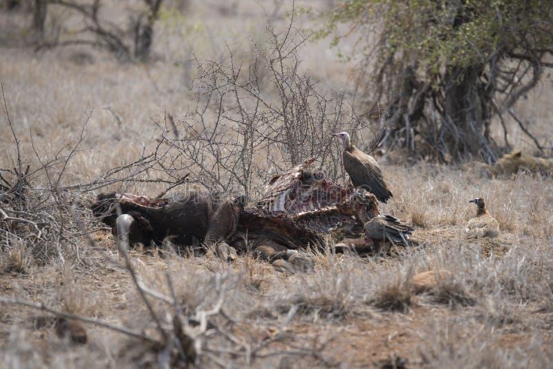 Lion dormant tandis que les vautours alimentent outre de la mise à mort photos libres de droits