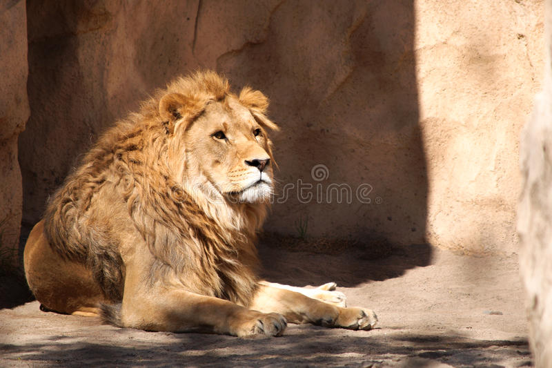 Download Lion in Dresden zoo stock photo. Image of panthera, king - 13534220