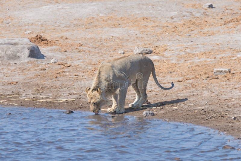Lion drinking at water pond. Wildlife Safari in Etosha National Park, the main travel destination in Namibia, Africa. Lion drinking at water pond. Wildlife royalty free stock images