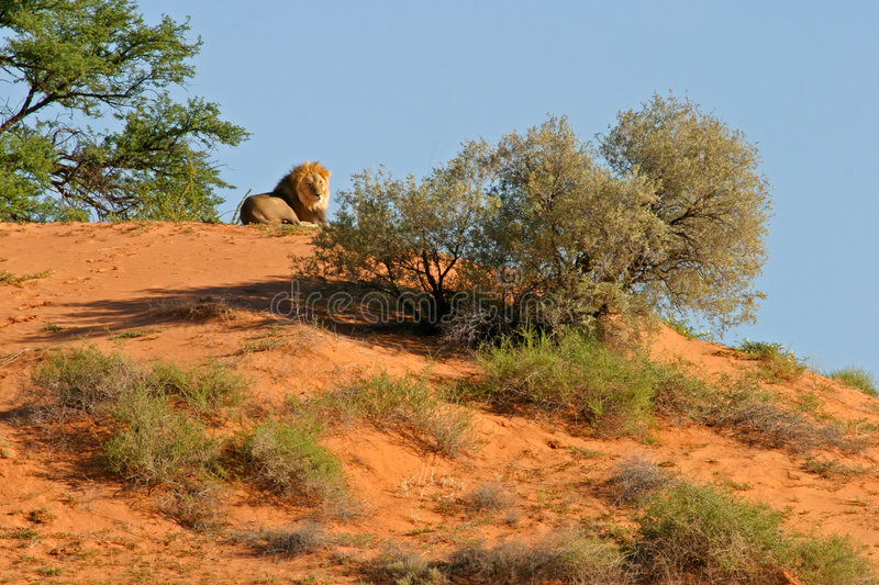Download Lion on dune stock photo. Image of male, feline, powerful - 875168