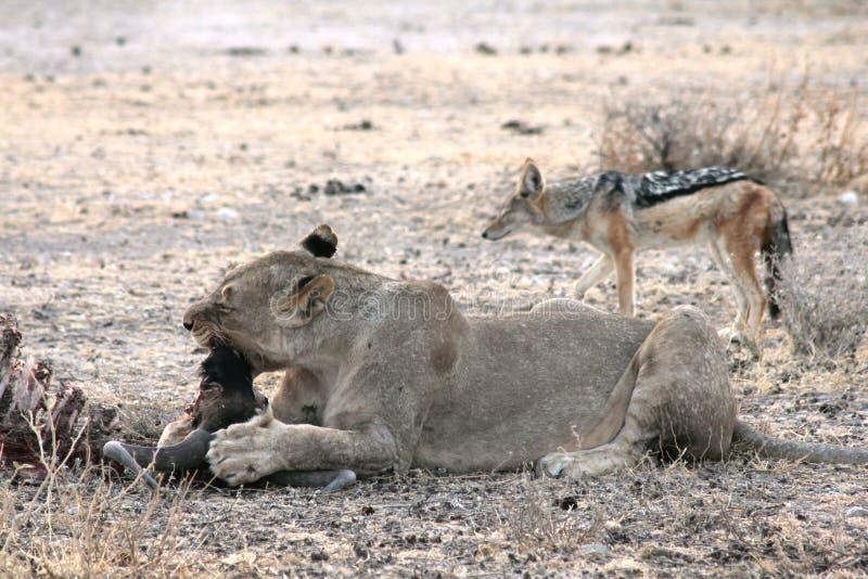 Lion Eating i Namibia arkivfoto
