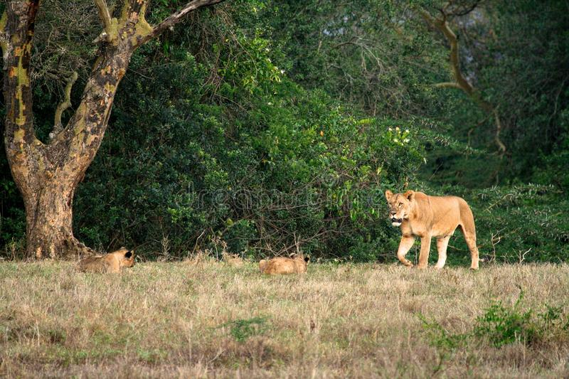 Lion en parc photos libres de droits