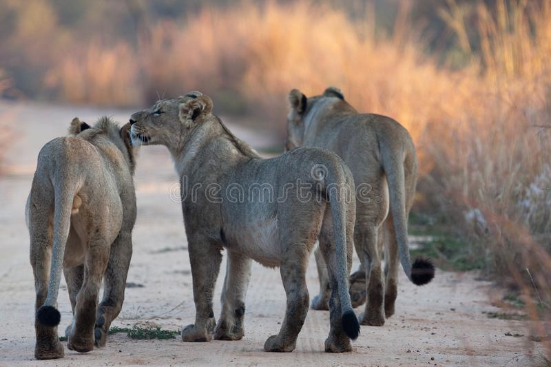 Lion en parc photographie stock