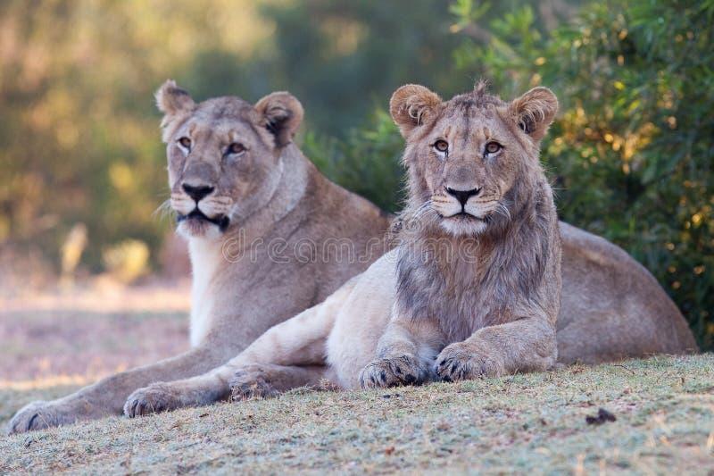 Lion en parc photos stock