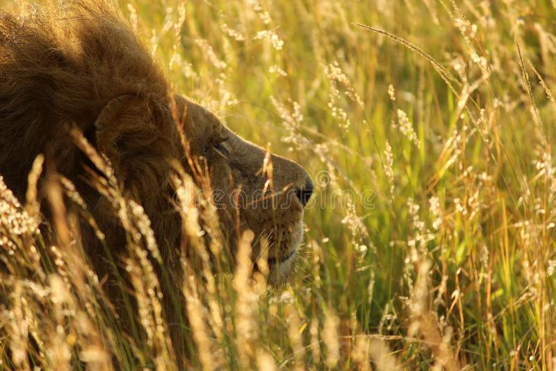 Lion en soleil de matin, masai Mara, Kenya images stock