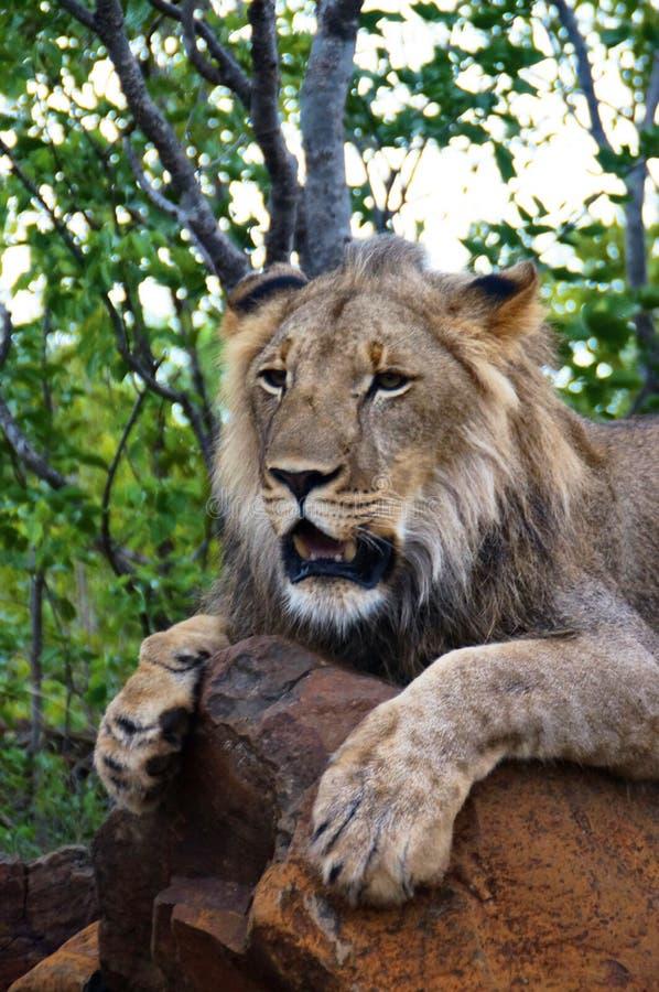 Lion Encounter arkivfoto