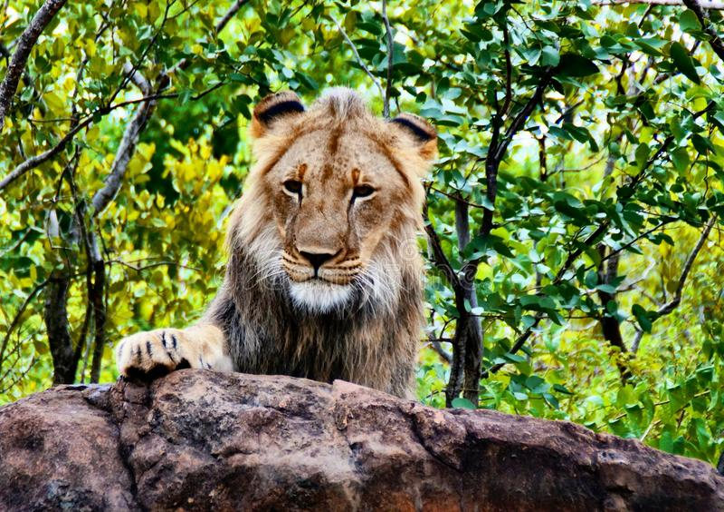 Lion Encounter Zimbabwe arkivfoto