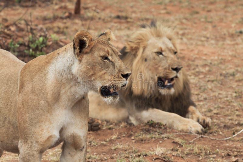 Lion et lionne photographie stock