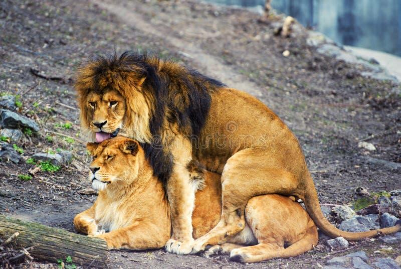 Lion et lionne photos stock