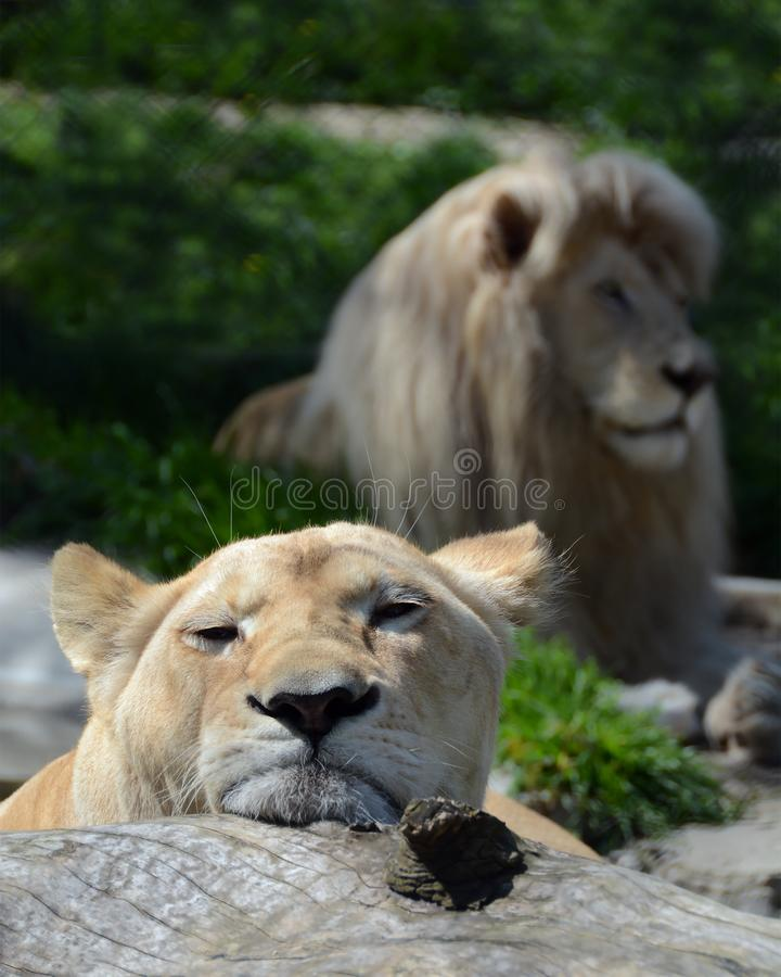 Lion et lionne sur le champ dans le zoo photos libres de droits