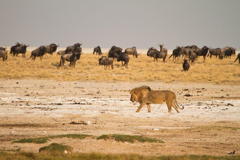 Lion in Etosha. Lion ,safari Etosha, Namibia Africa stock photos