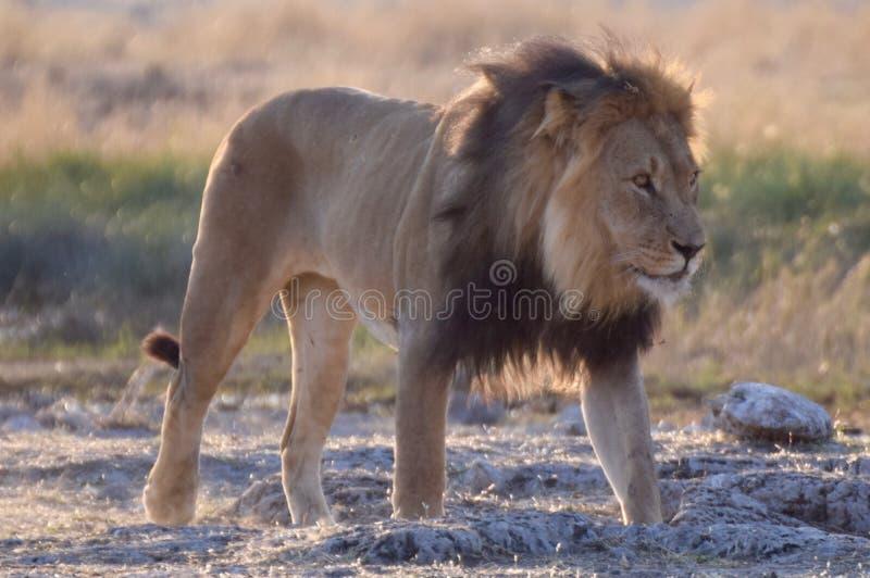 Lion in Etosha Parc stock photo