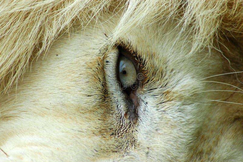 Lion eye royalty free stock images