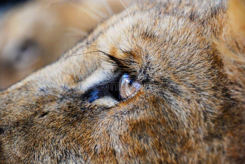 Lion Eye photos stock