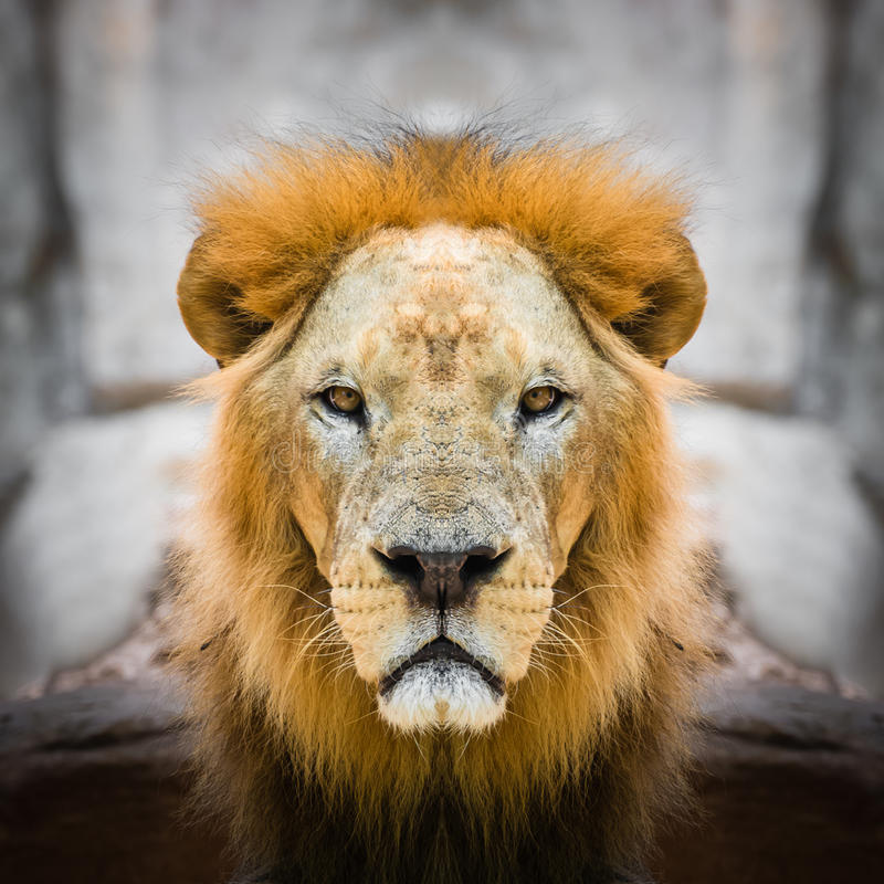 Free Lion Face Close Up Stock Image - 82728841