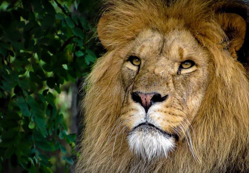 Lion Face Closeup masculino majestuoso imagen de archivo