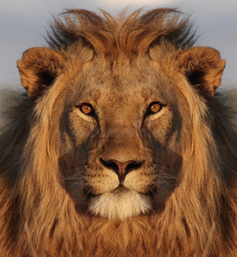 Lion face royalty free stock photo