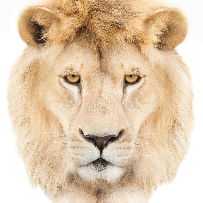 Download Lion face stock image. Image of calm, noble, furry, feline - 36180611