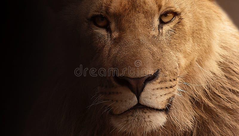 Lion, Face, Wildlife, Mammal stock image