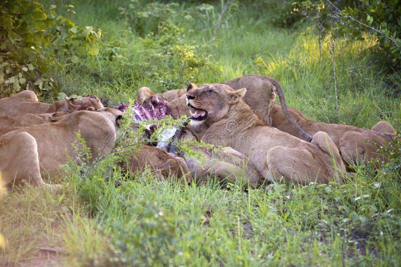 Download Lion family stock image. Image of animal, food, endangered - 8437841