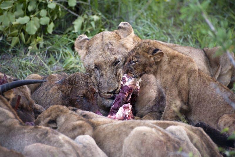 Lion Family Eating Their Prey Stock Photo - Image of lion ... - photo#29