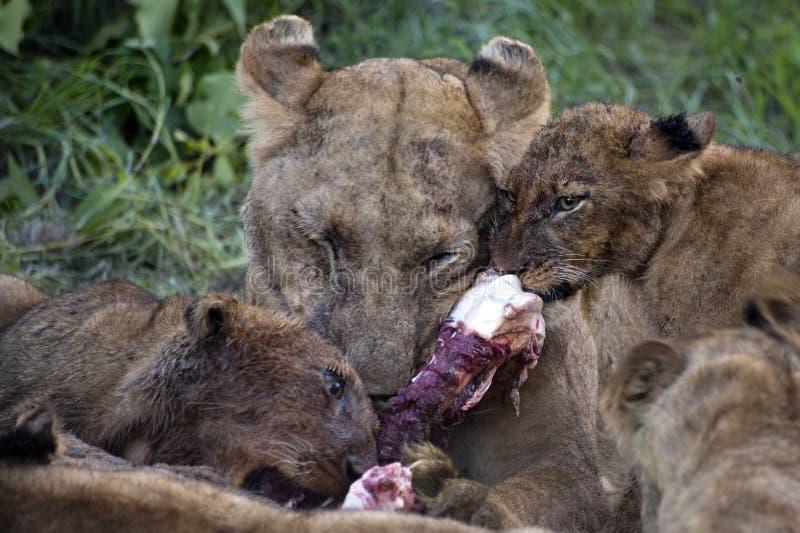 Lion Family Eating Their Prey Stock Photo - Image of ... - photo#15