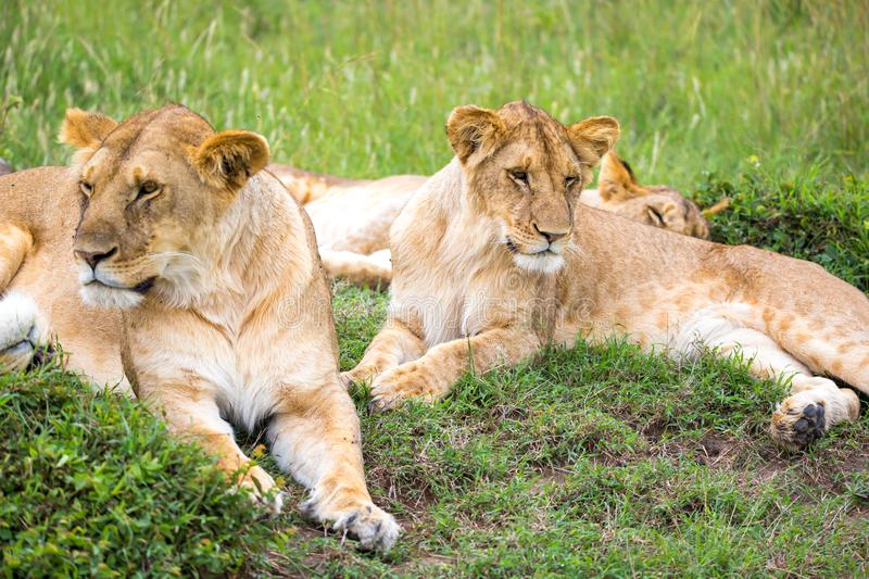 Lion Family Stock Images - Download 9,128 Royalty Free Photos