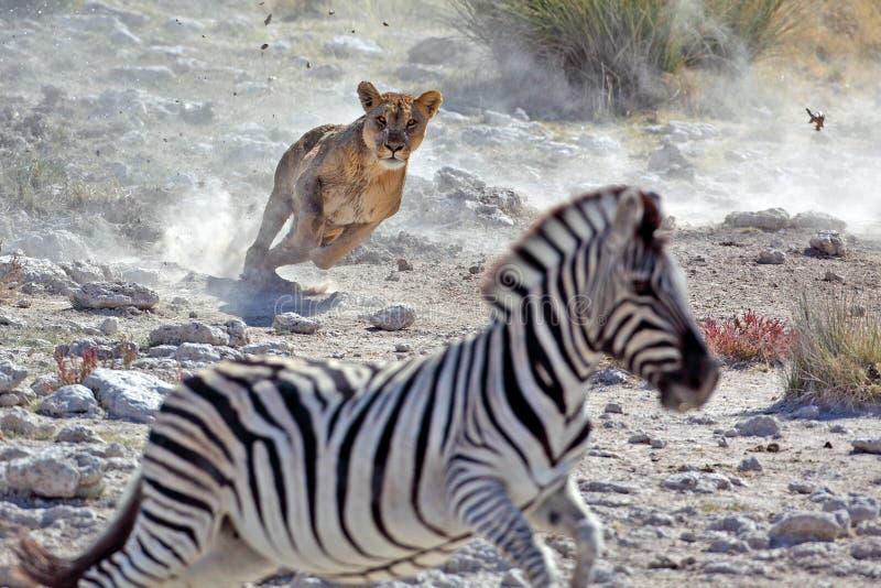 Lion female hunting zebra