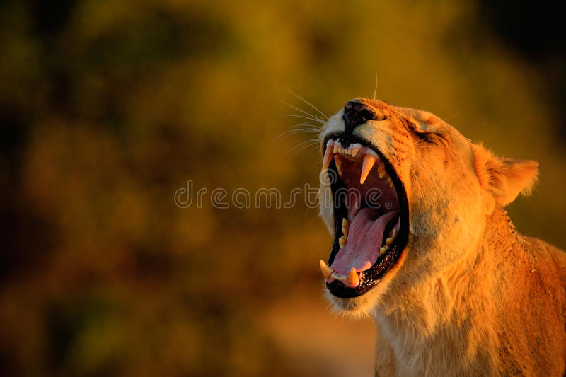 Lion female with open muzzle and big tooth. Beautiful evening sun. African lion, Panthera leo, detail portrait of big animal, even stock photography