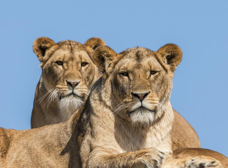 Lion, female. Panthera leo, African predator. Panthera leo, female lion. Predator first class. Hunts in packs stock image