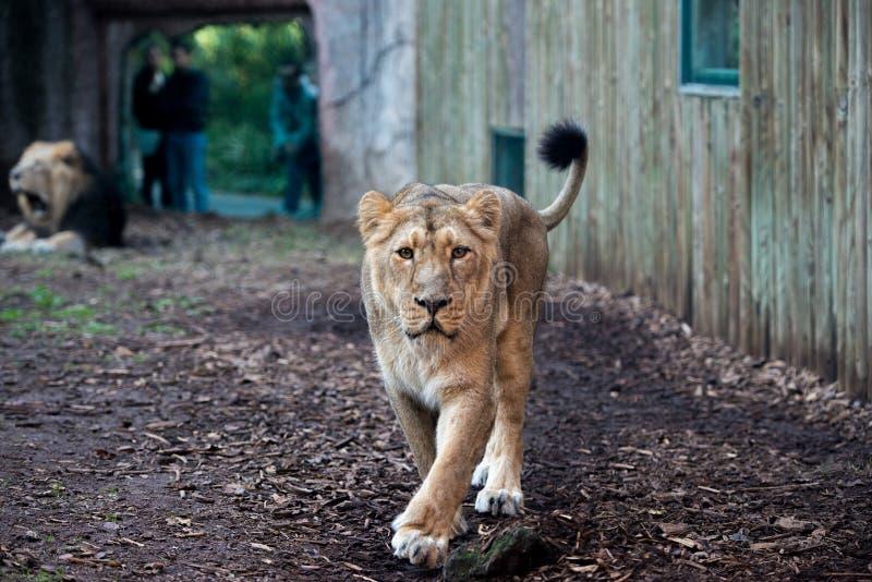 Lion femelle au zoo image stock