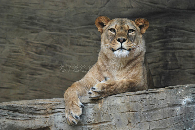 Lion femelle de Barbarie photo stock