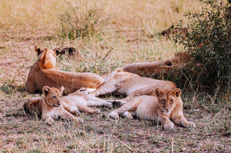 Lion femelle et jeunes lions se trouvent sur le terrain de la réserve de Serengeti Savanna Grumeti - African Tanzania Safari photos libres de droits