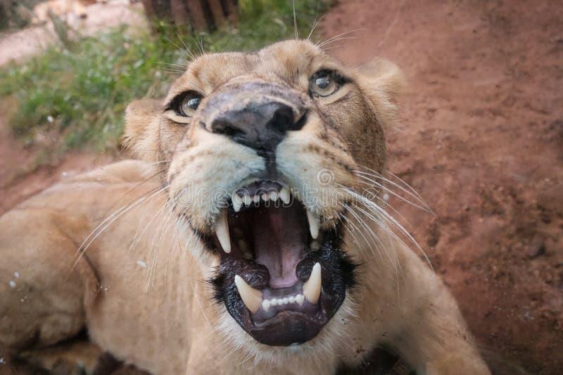 Lion femelle montrant des dents, regardant la caméra photos stock