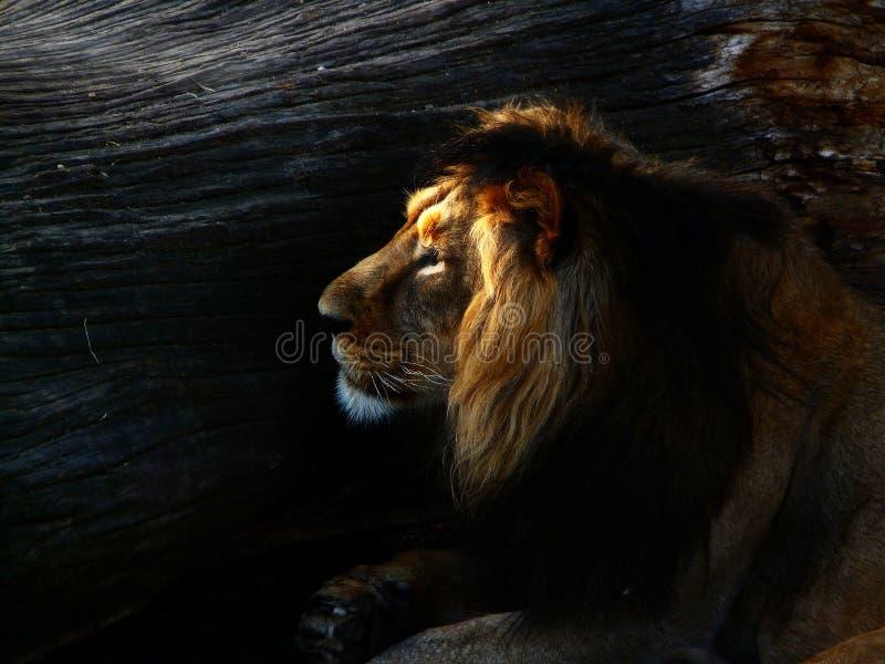 Lion fier photographie stock