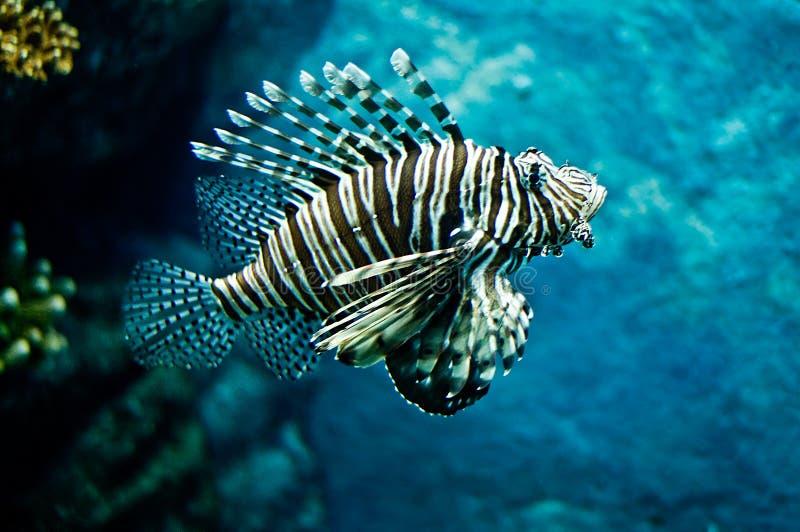 Download Lion fish stock image. Image of color, lion, poisionous - 10319661