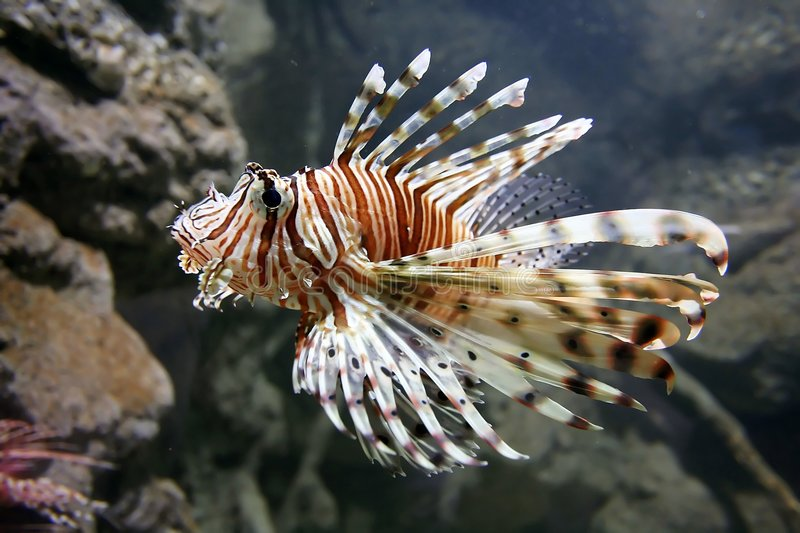 Download Lion Fish Royalty Free Stock Photography - Image: 1092677