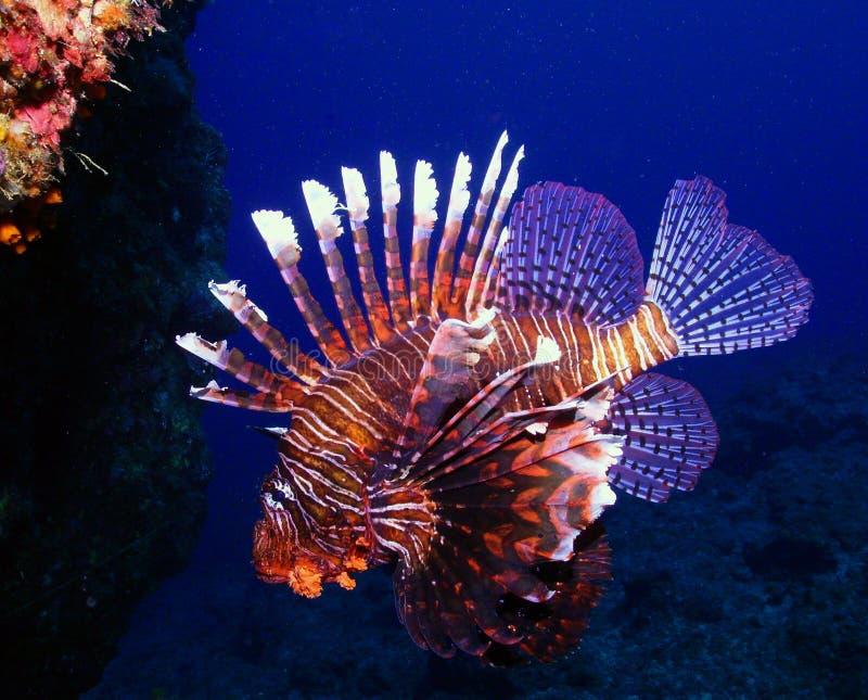 Download Lion Fish stock image. Image of scuba, nimo, photo, dive - 17546483