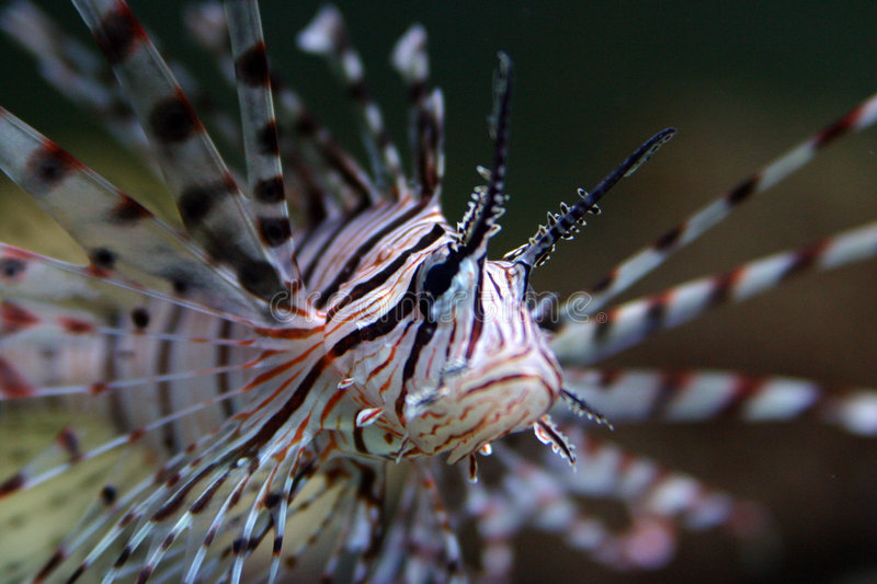 Lion fish. In sea environment stock images
